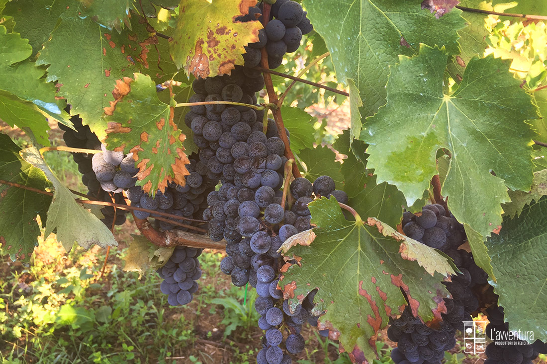avventura-grappolo-uva